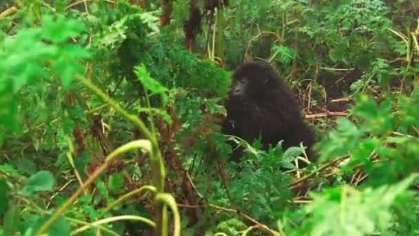 Mountain gorillas in the wild of the forest, zoom out