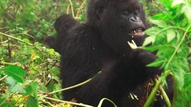 Mountain gorilla face feeding in super slow motion