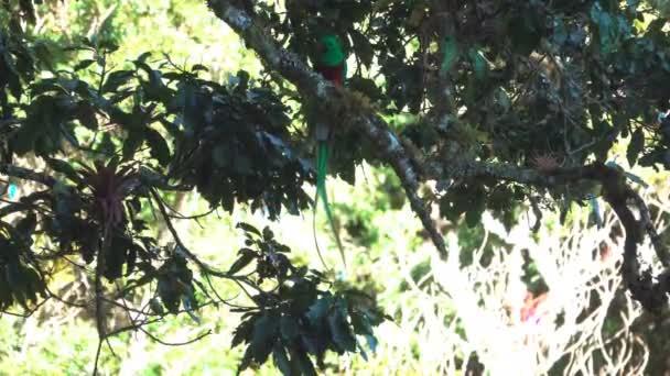 Quetzal bird with bug in beak over tree branch