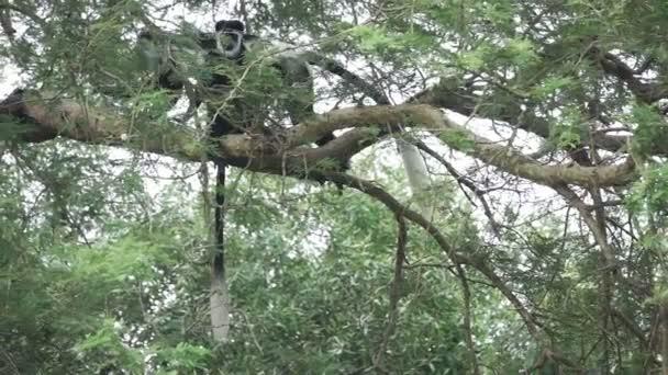 Kočkodanů pěšky přes větev stromu v pomalém pohybu