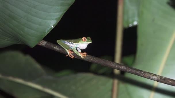 Rana verde, rosso, gli occhi. Una rana verde tropicale sopra ramo