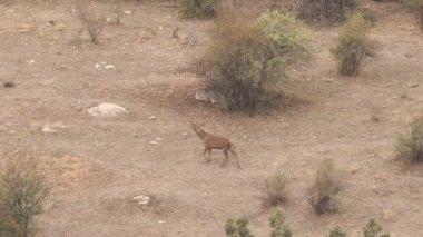 Male deer bellowing and running out of camera