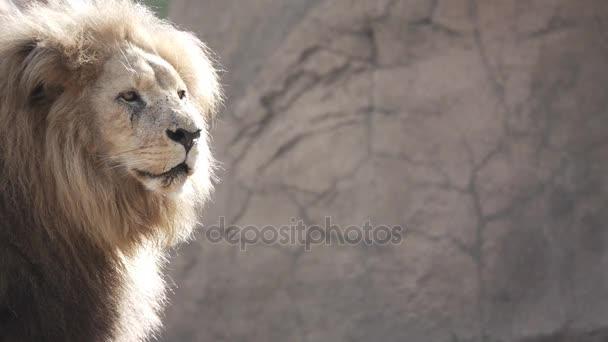 Câmera lenta de um leão do lado esquerdo do quadro u2014 vídeo de stock