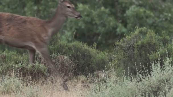 Female deer crosses frame left to right
