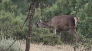 Female deer feeding with heather in the bush
