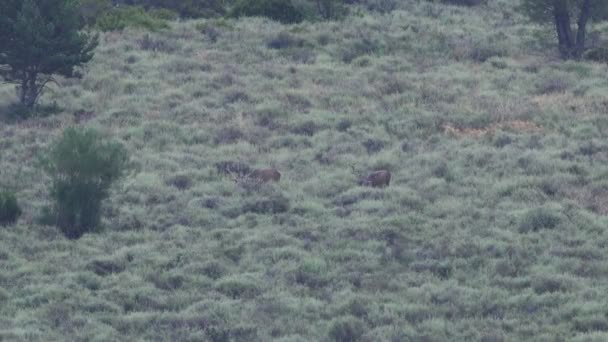 Dlouhý záběr samec jelenů, krmení