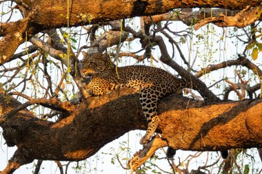 Spectacular leopard sprawled on top of the tree