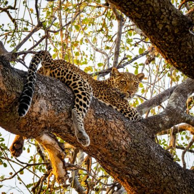Spectacular leopard sprawled on top of tree branch looking down
