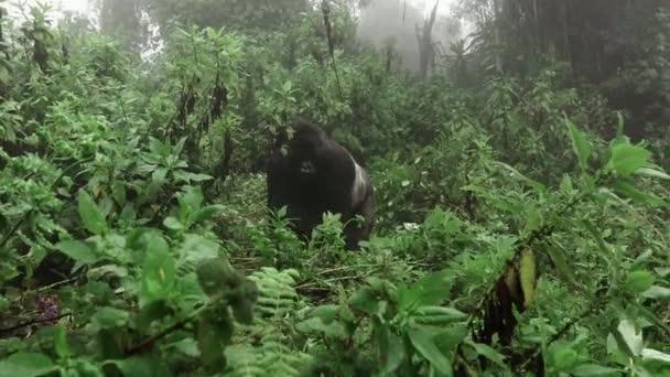 Silverback mountain gorilla approaching to the camera