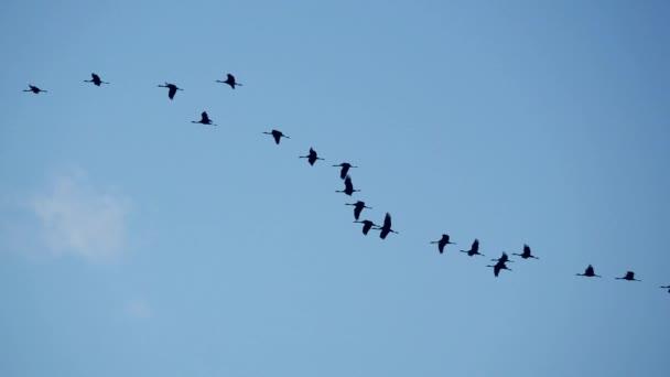 Vysoký kontrast velké skupiny jeřábů v pomalém letu