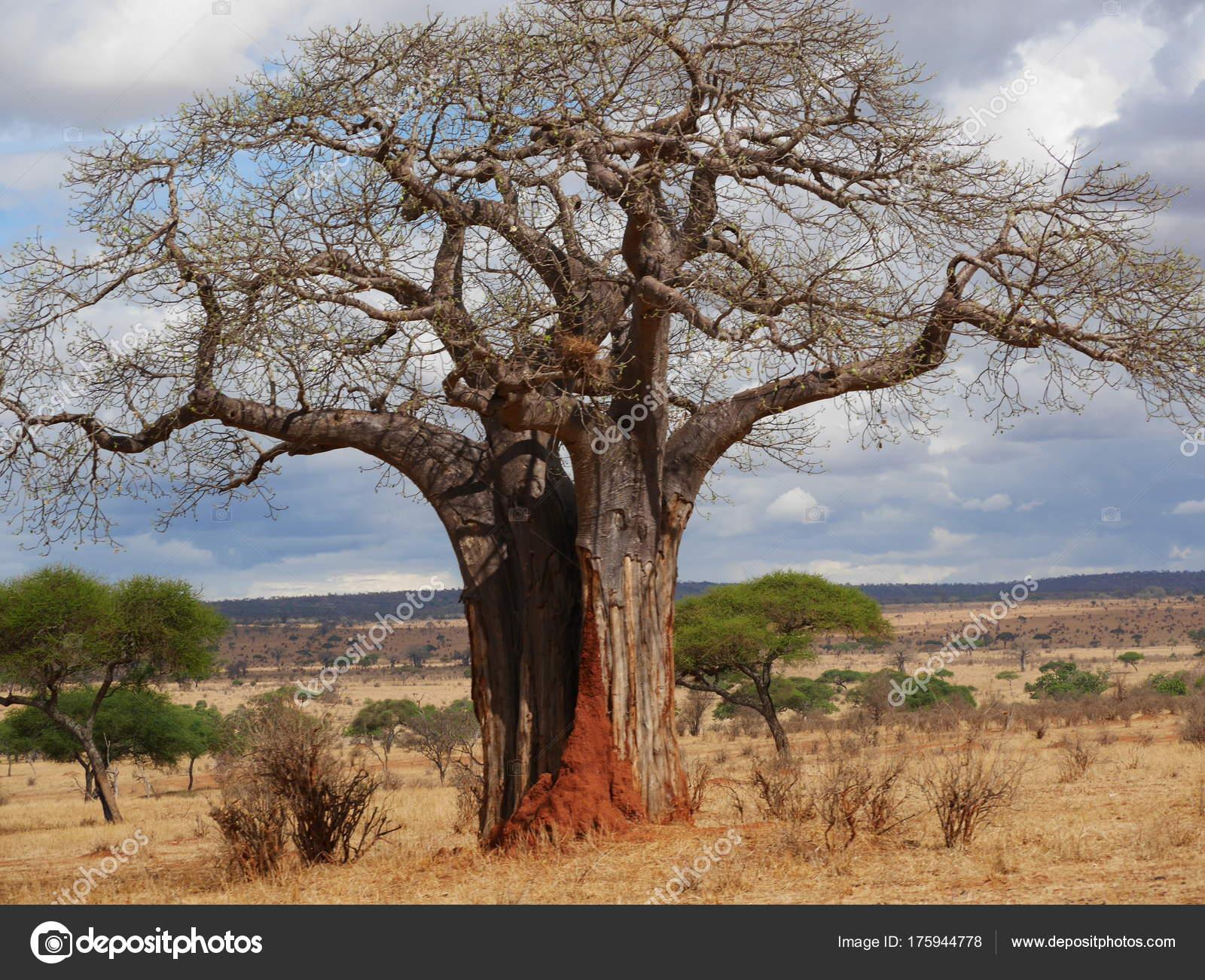 世界最粗的树图片_猴面包树 世界上最大的树木 150 年的树 美丽的树 参天大树 孤独 ...