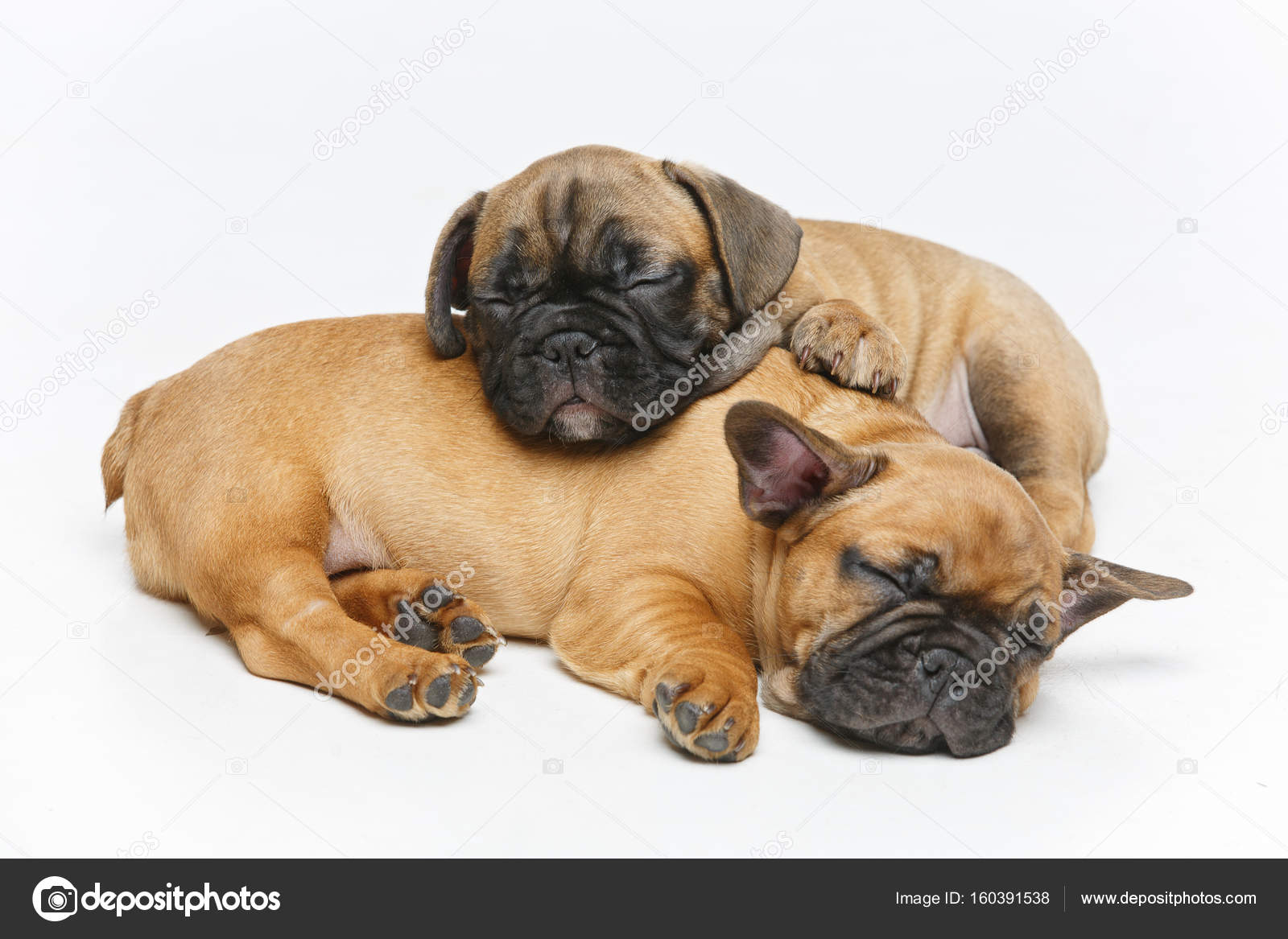 cute french bulldog puppies sleeping — stock photo © svetography