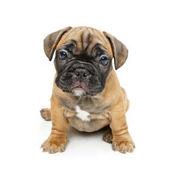 Photo french bulldog puppy