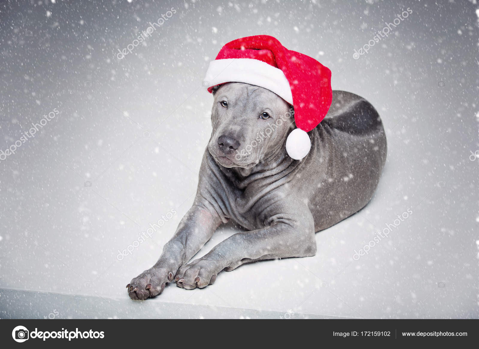 c743b976ee6ab Puppy wearing christmas hat — Stock Photo © Svetography  172159102