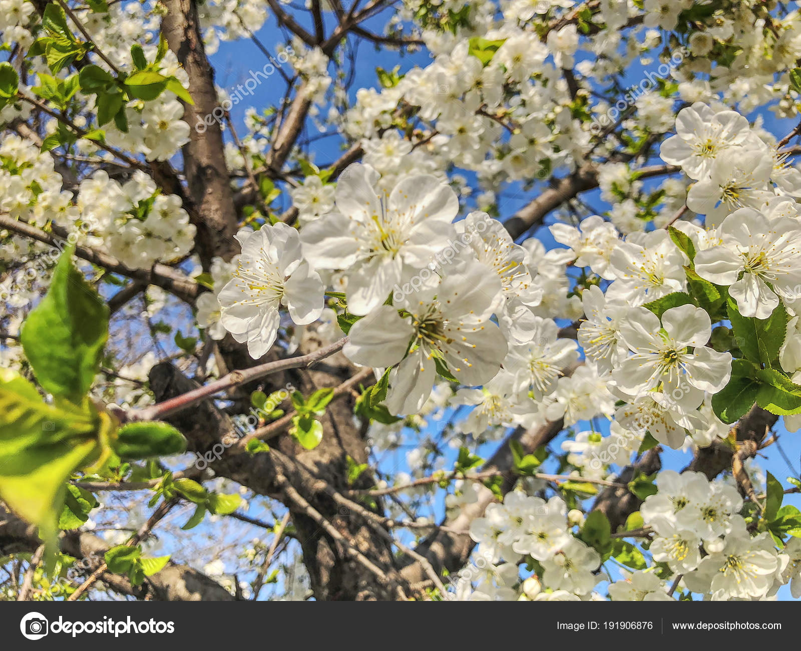 Cherry Blossom Branch Close Up Spring Weather Sunny Sky Flowering