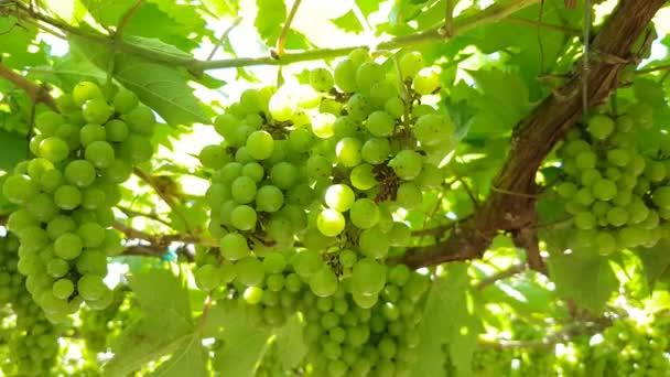 zöld szőlő lóg egy vastag szőlő