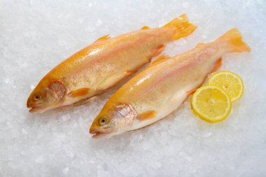 Trout, Golden fish on the ice