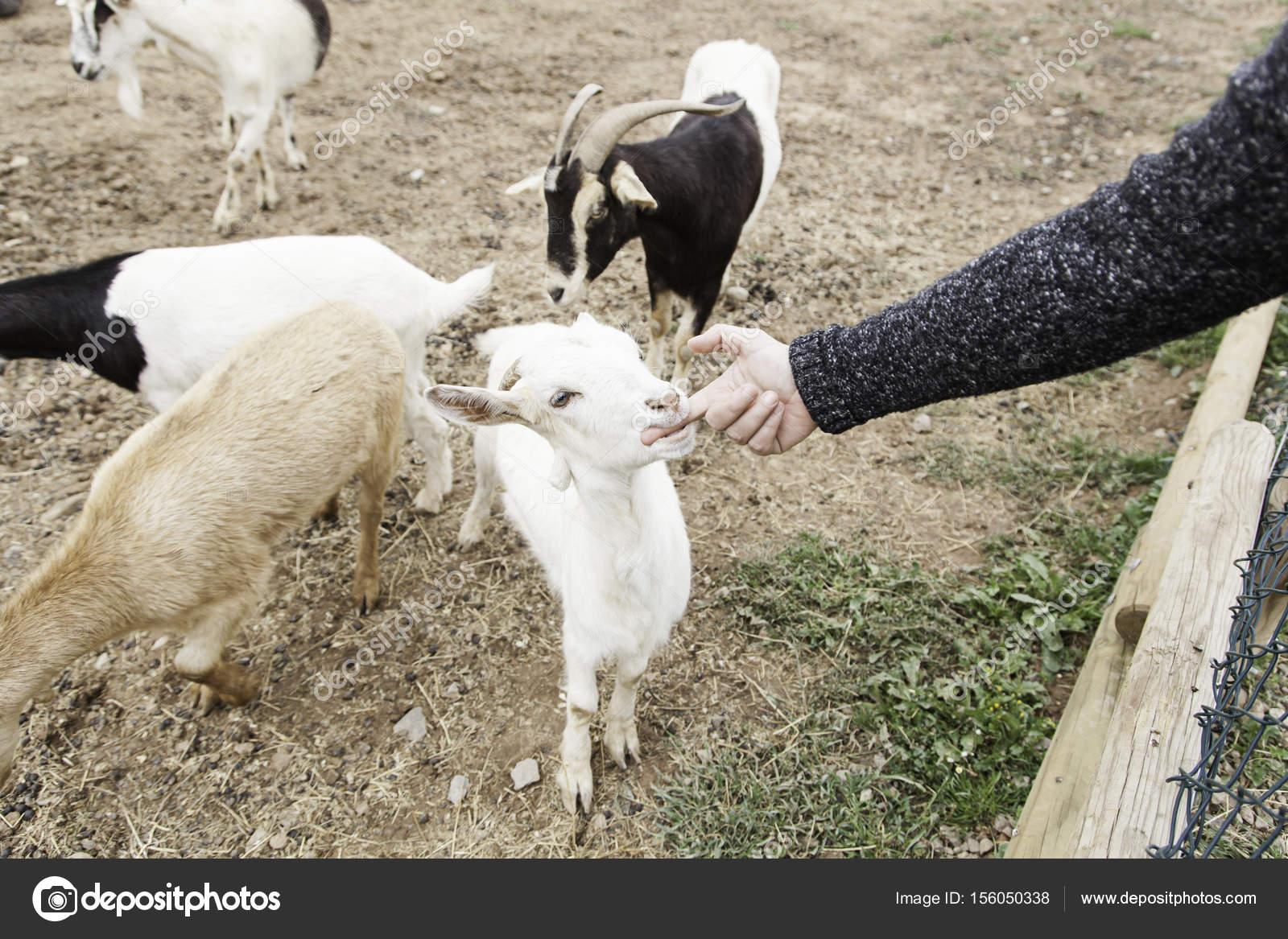 Acariciar Una Cabra En Una Granja