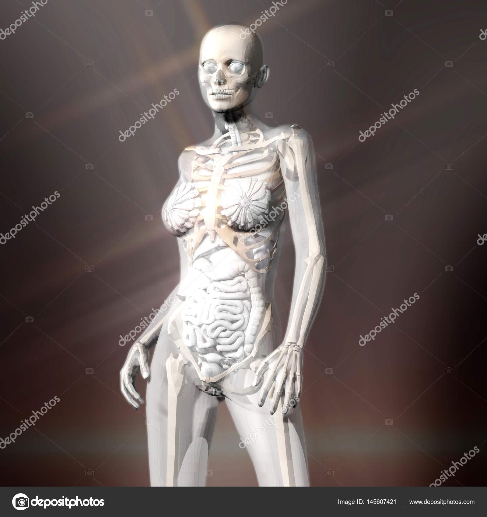 Representación digital 3d de la anatomía humana femenina — Foto de ...