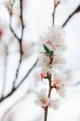 Pobočka ovoce bílých květů na jaře