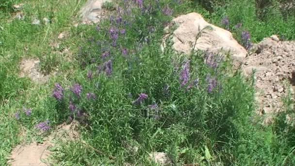 horské květiny Kyrgyzstánu