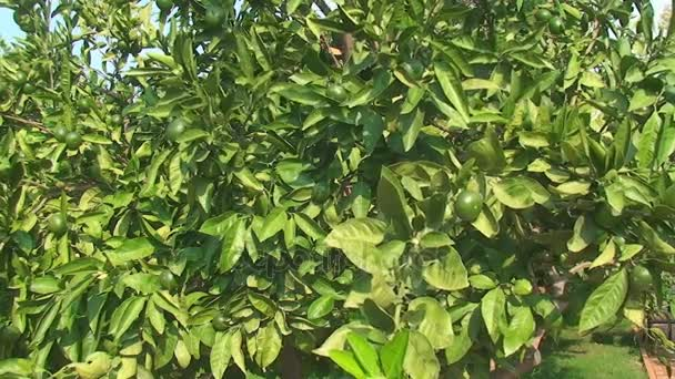 green lime tree growing fresh citrus