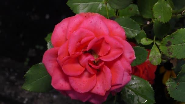 Velká vínová růže roste v zahradě