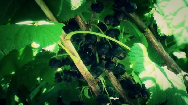 Black grapes,Grapes harvest