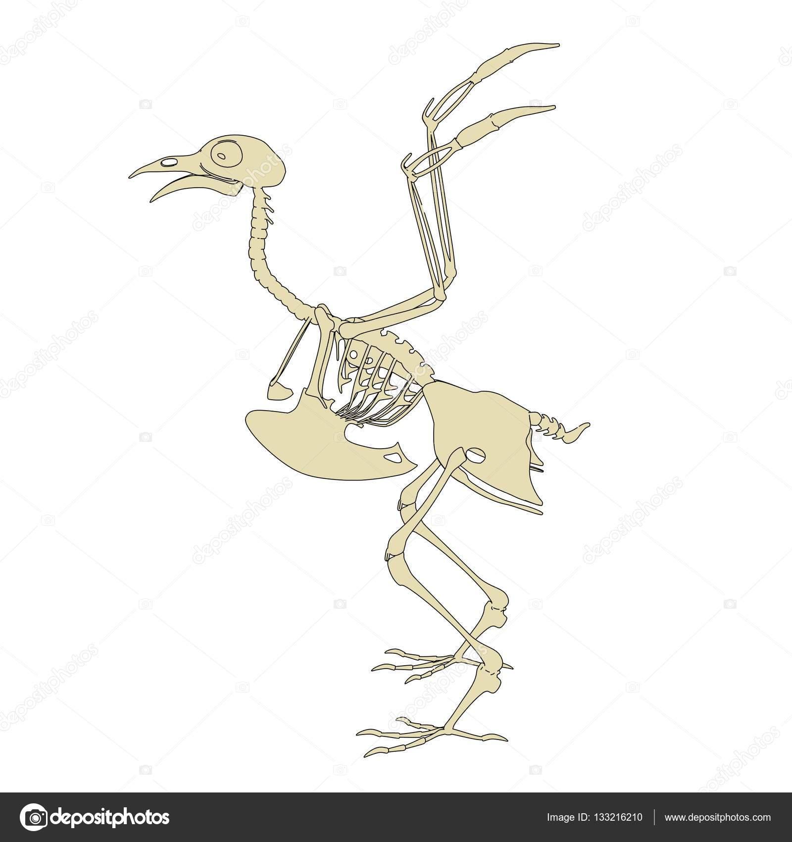 Ilustración de dibujos animados 2D del esqueleto de la paloma — Foto ...