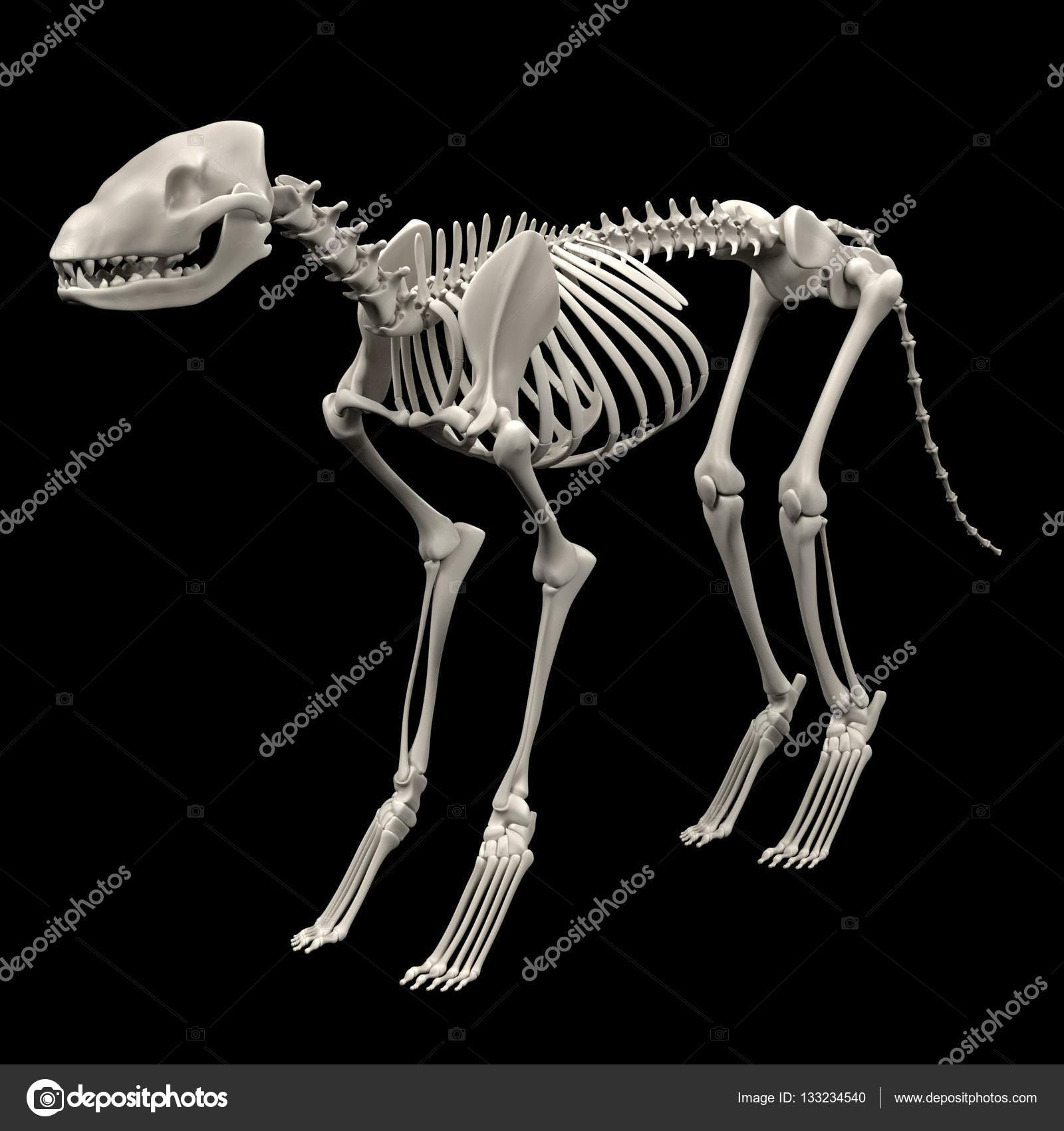 realistische 3d render Hund Skelett — Stockfoto © 3drenderings ...