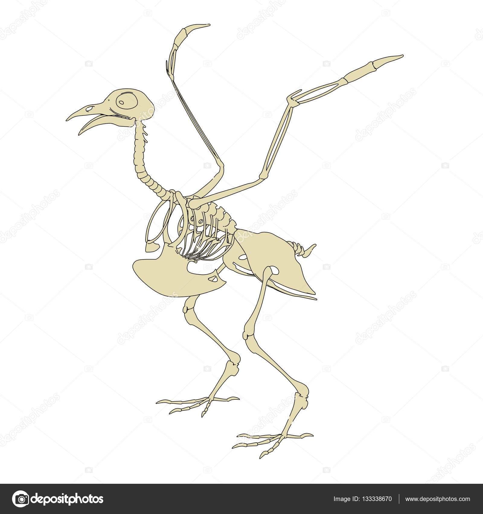 Ilustración de dibujos animados 2D del esqueleto de la paloma ...