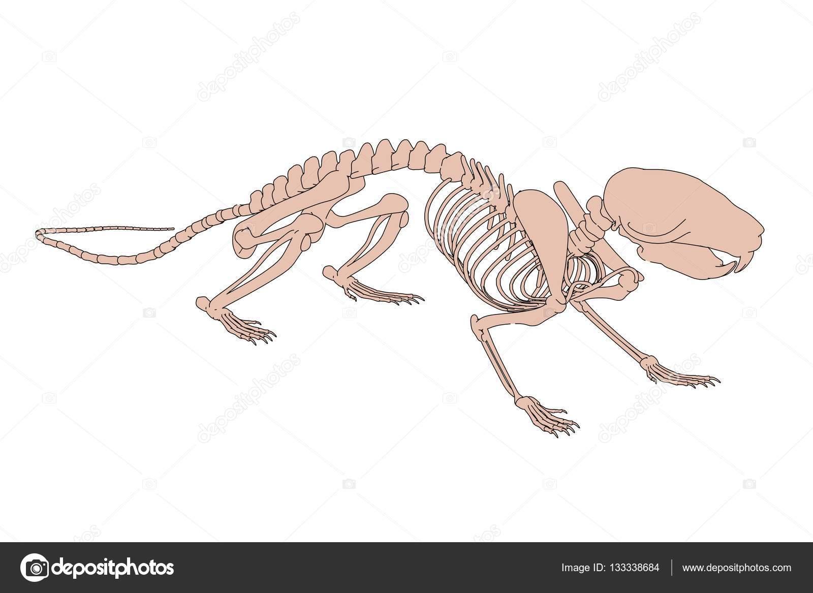 2D ilustración de dibujos animados de esqueleto de rata — Fotos de ...