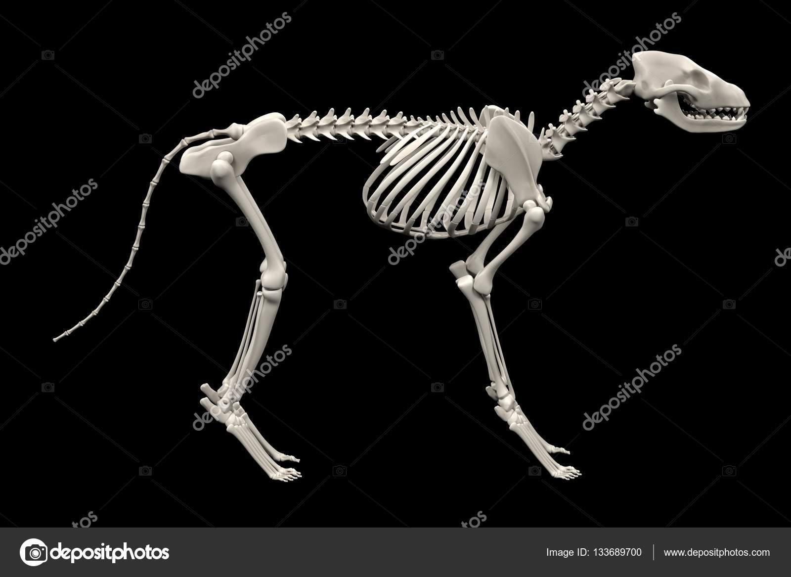 realista 3d render de esqueleto de perro — Fotos de Stock ...