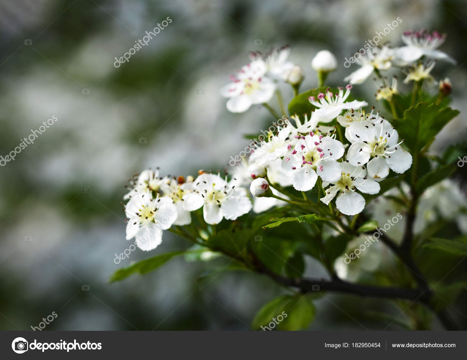 White Flowers Of Hawthorn Stock Photo Ahojdoma 182950454