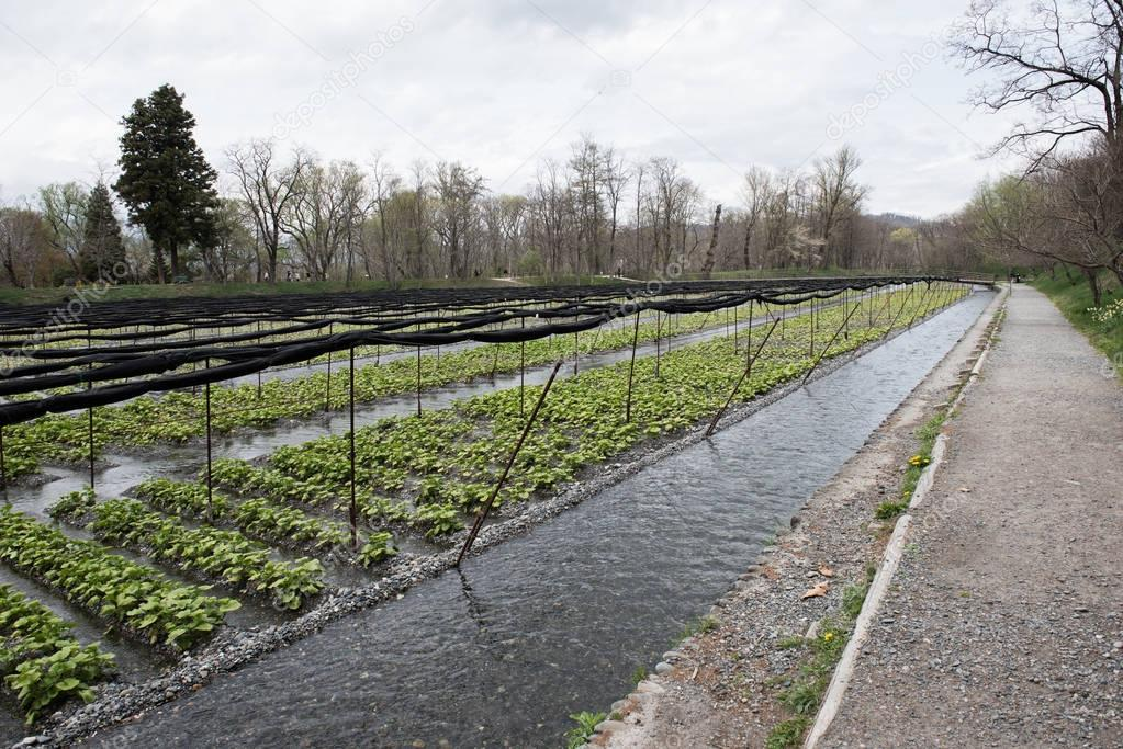 Irrigation System in Japan