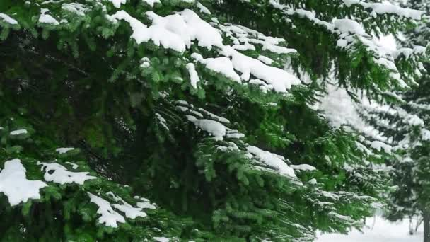 Fir tree branch, falling snow