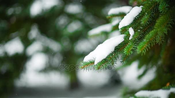 close-up fir tree branch, falling snow