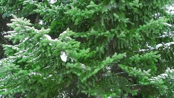 Fenyő fa ága, havazás