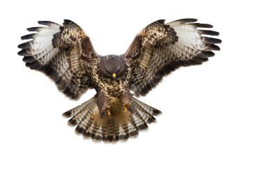 Front view of bird of prey landing isolated on white background