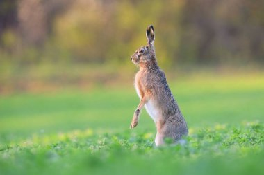 Brown hare standing on a rear legs in vertical position on a field in spring