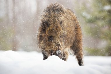 Young wild boar digging in snow with snout and looking for food in winter