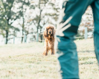 cocker spaniel standing on meadow