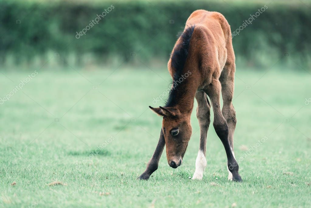 Cute foal grazing on meadow.
