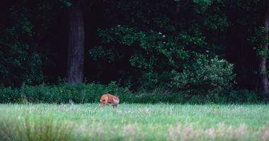 Roe deer scratching head