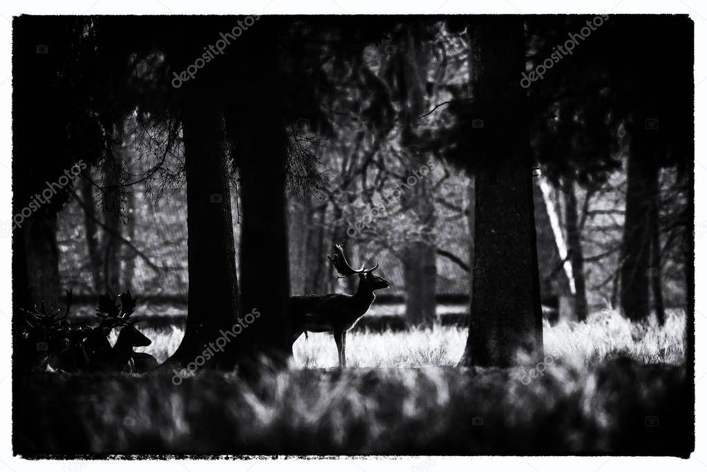 silhouette of fallow deer