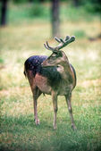 Photo Fallow deer buck with antlers