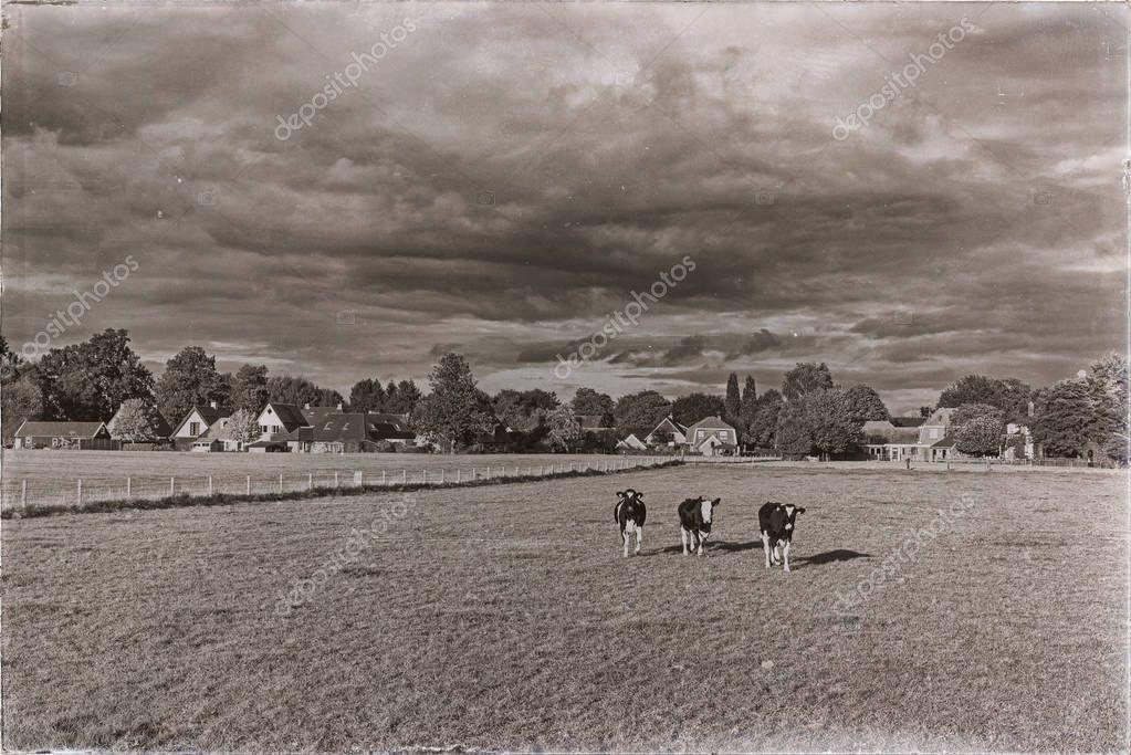 cows on farmland running towards camera