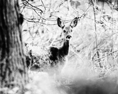 alert roe deer doe behind tree