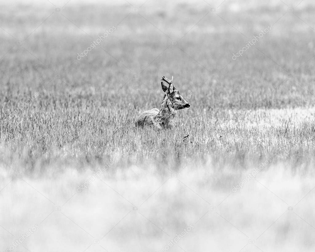 ruminating roebuck lying on meadow