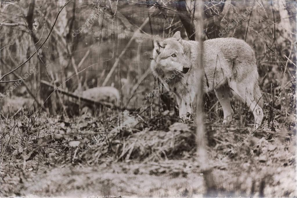 solitary wolf standing in forest